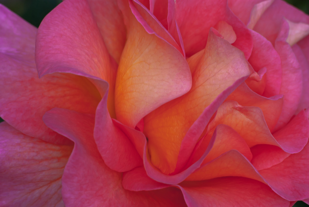 2 Quote A Flower Daily - Rose Abstract