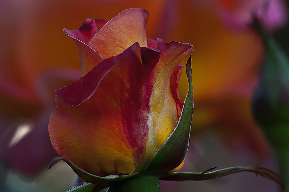 2 Quote A Flower Daily - Mardi Gras Rose Bud