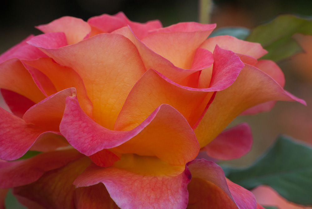 2 Quote A Flower Daily - Mardi Gras Rose Macro 02