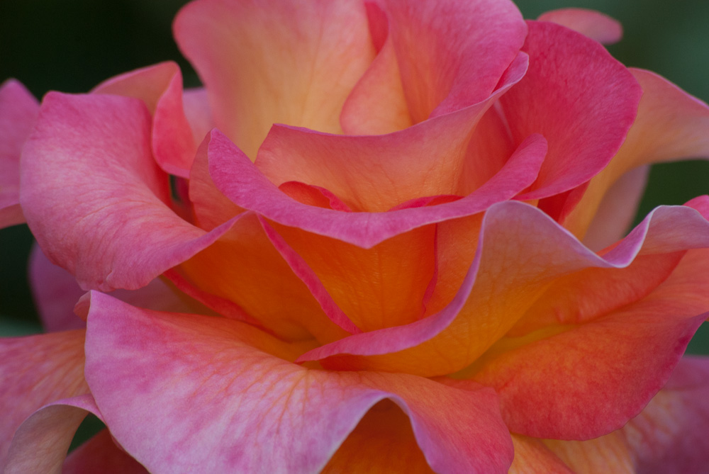 2 Quote A Flower Daily - Mardi Gras Rose Macro