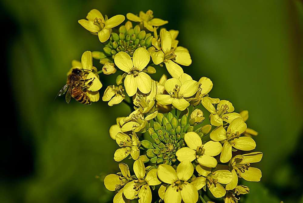 2 Quote A Flower Daily - Mustard Bee 03