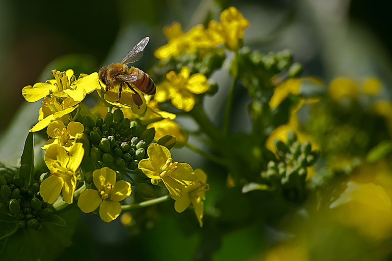 2 Quote A Flower Daily - Mustard Bee