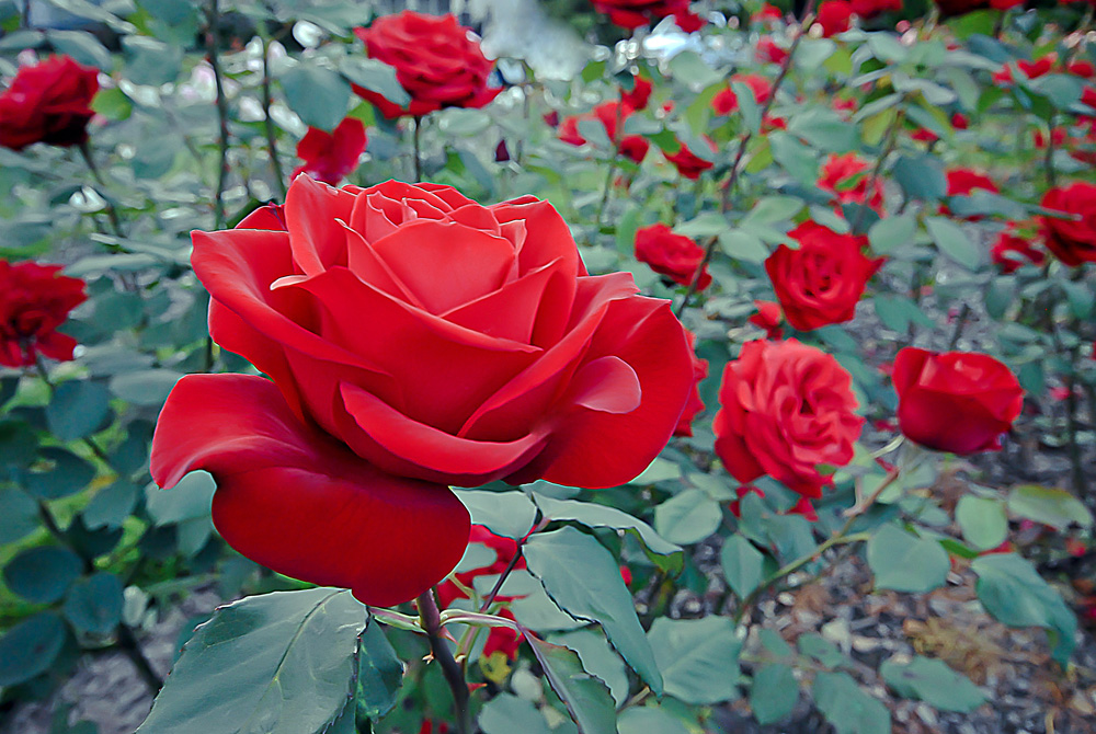 2 Quote A Flower Daily - Olympiad Rose