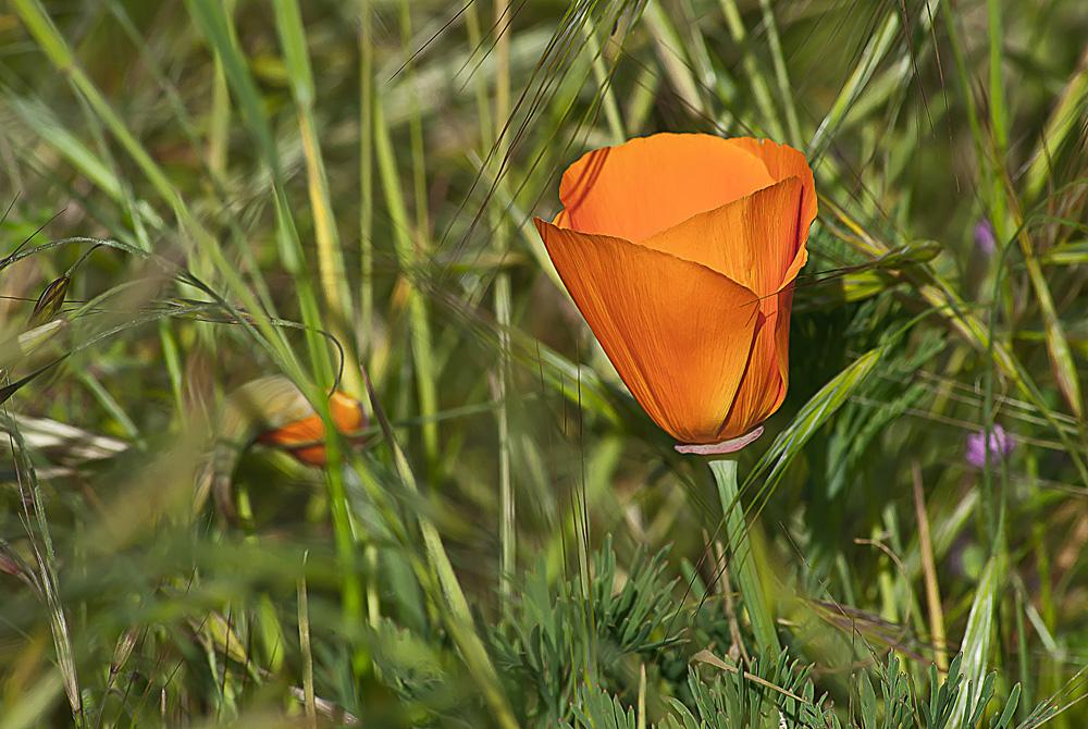 2 Quote A Flower Daily - Orange California Poppy Wild
