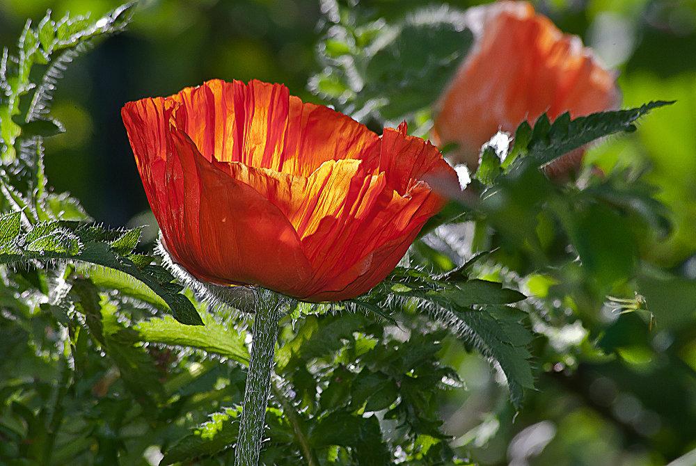 2 Quote A Flower Daily - Orange, Oriental Poppy, Papaver Orientale,