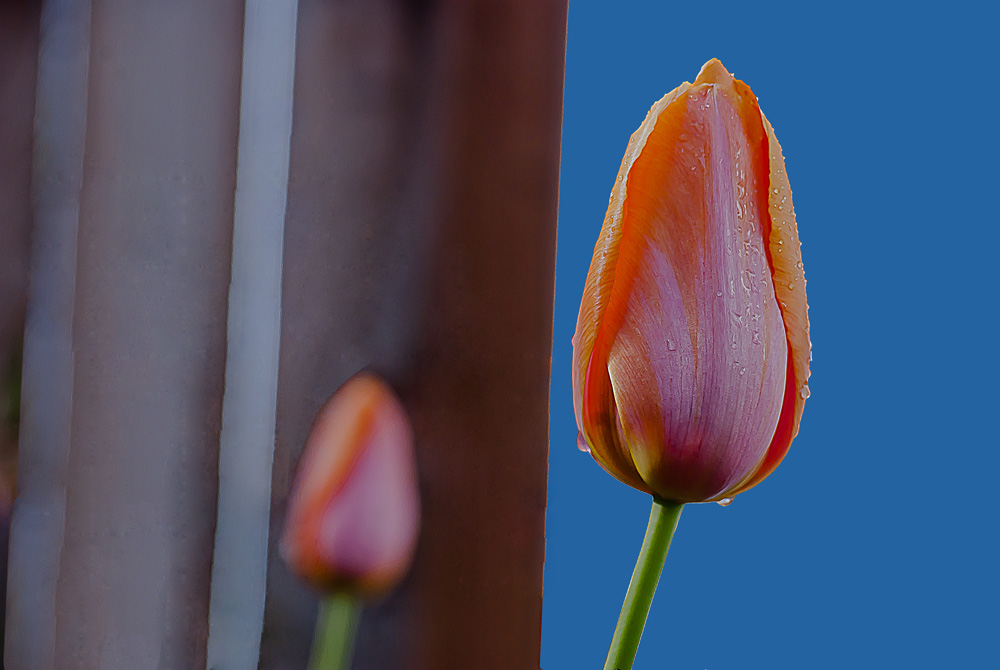 2 Quote A Flower Daily - Orange Tulip Glow