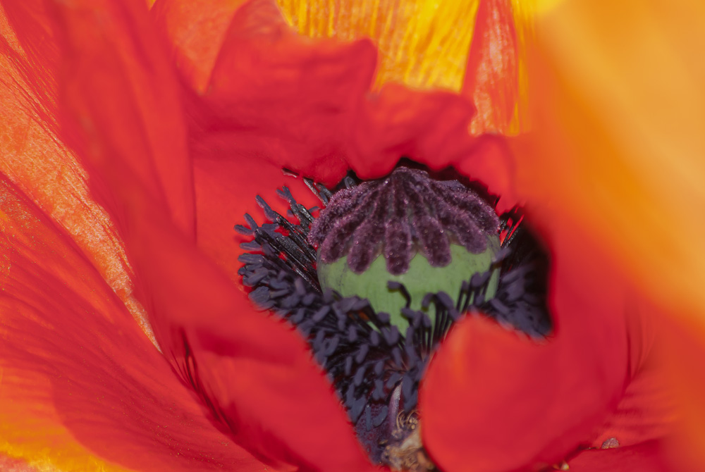 2 Quote A Flower Daily - Oriental Poppy Center