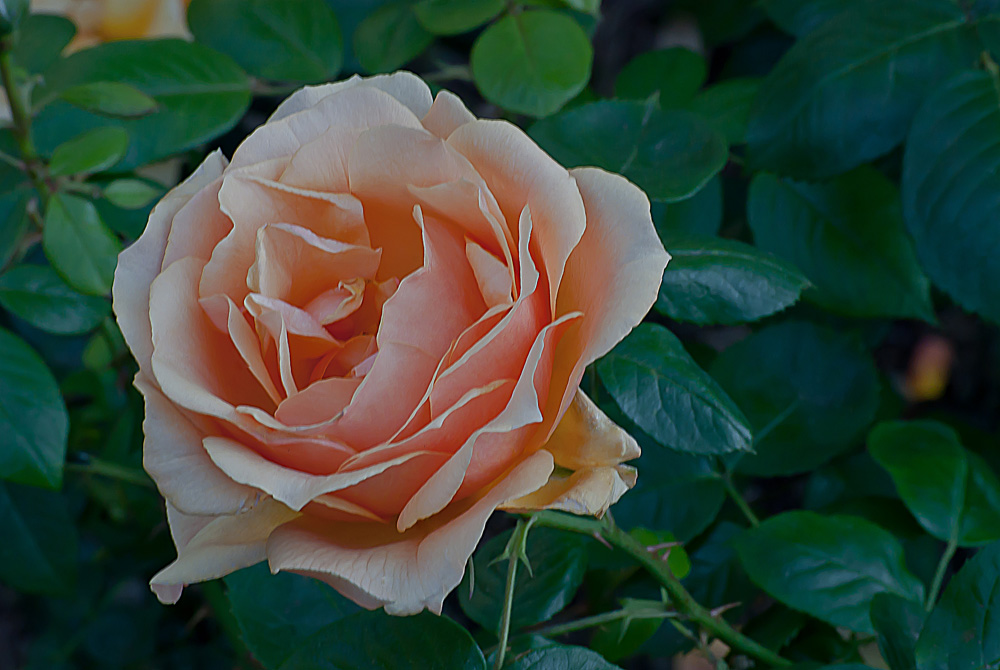 2 Quote A Flower Daily - Peach Rose 02