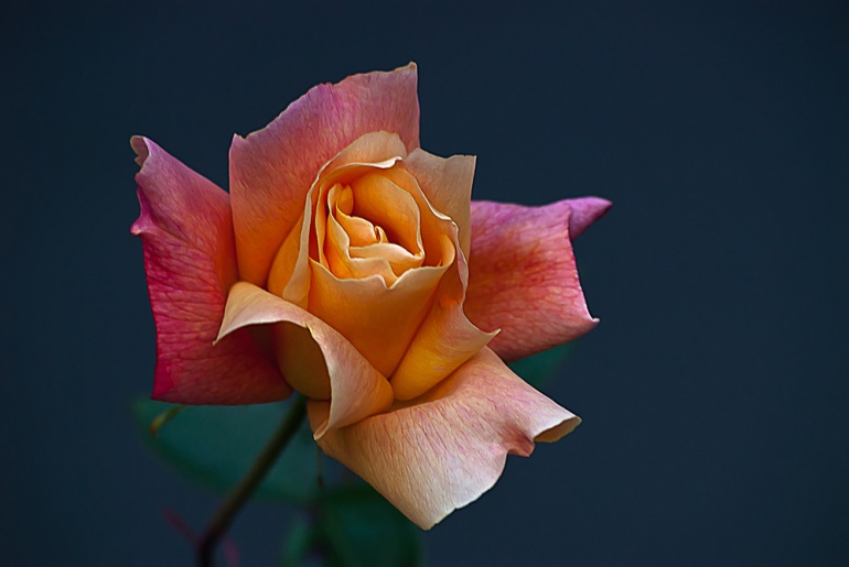 2 Quote A Flower Daily - Peach Rose Bud