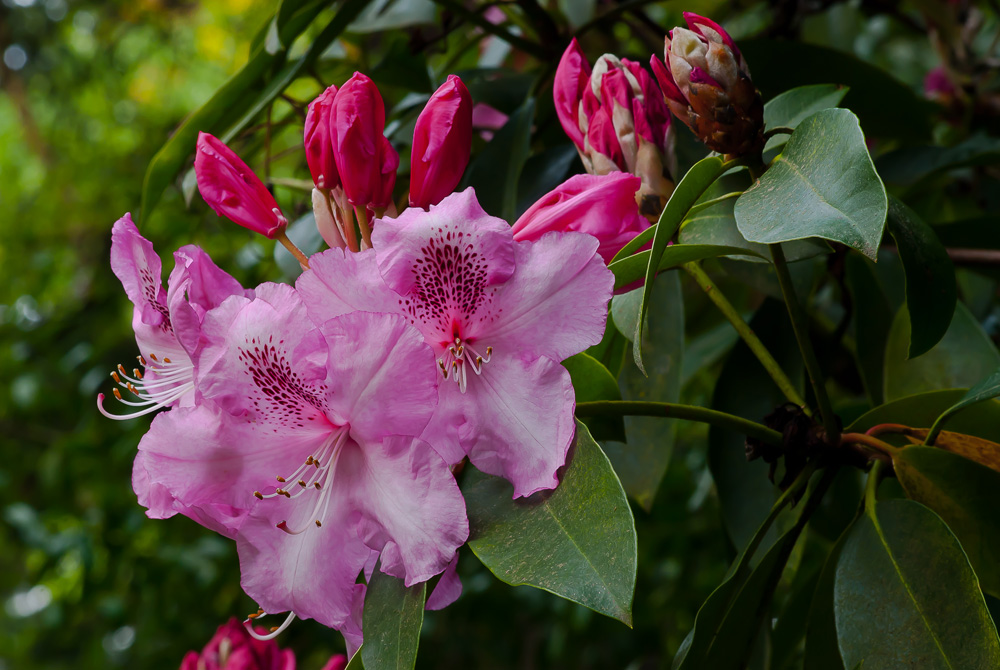 2 Quote A Flower Daily - Pink Rhododendron with Buds