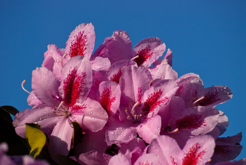 2 Quote A Flower Daily - Pink Rhododendron