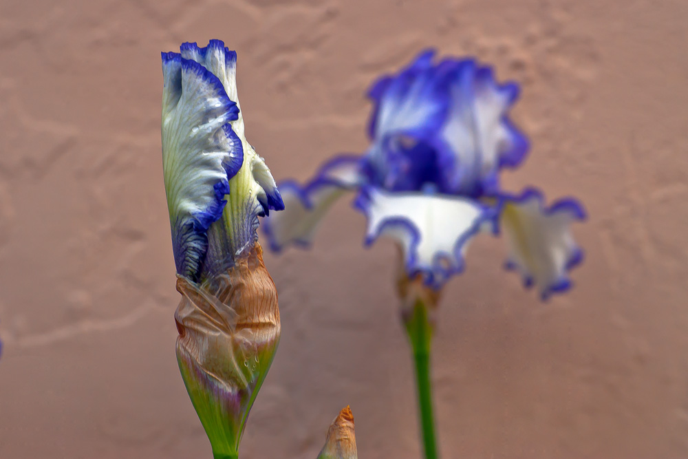 2 Quote A Flower Daily - Purple and White Bearded Iris Bud