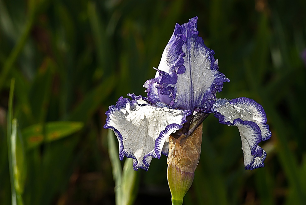 2 Quote A Flower Daily - Purple and White Bearded Iris