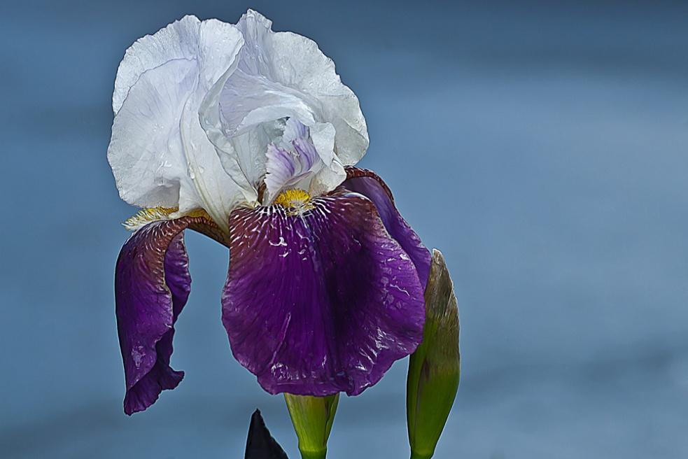 2 Quote A Flower Daily - Purple and White Iris