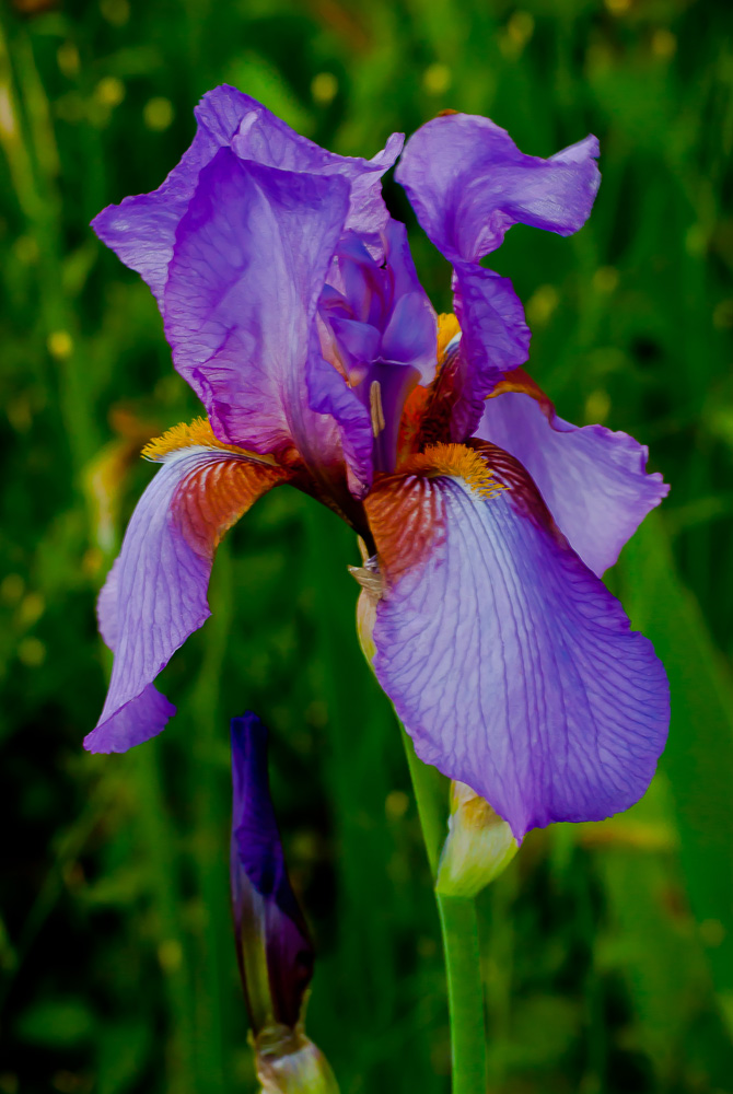 2 Quote A Flower Daily - Purple Bearded Iris Portrait