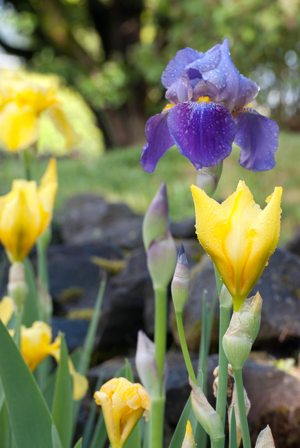 2 Quote A Flower Daily - Purple Bearded Iris