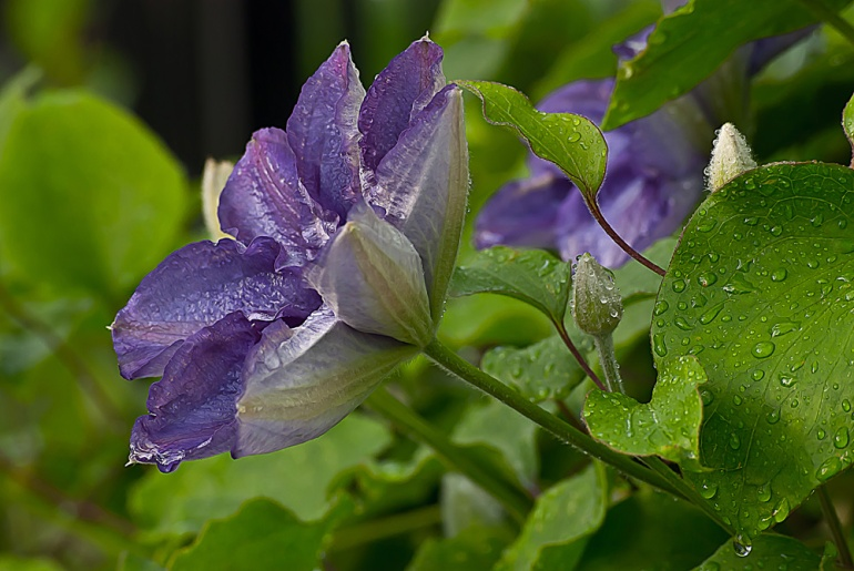 2 Quote A Flower Daily - Purple Clematis