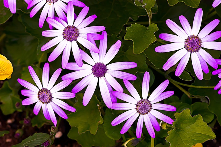 2 Quote A Flower Daily - Purple White Daisy