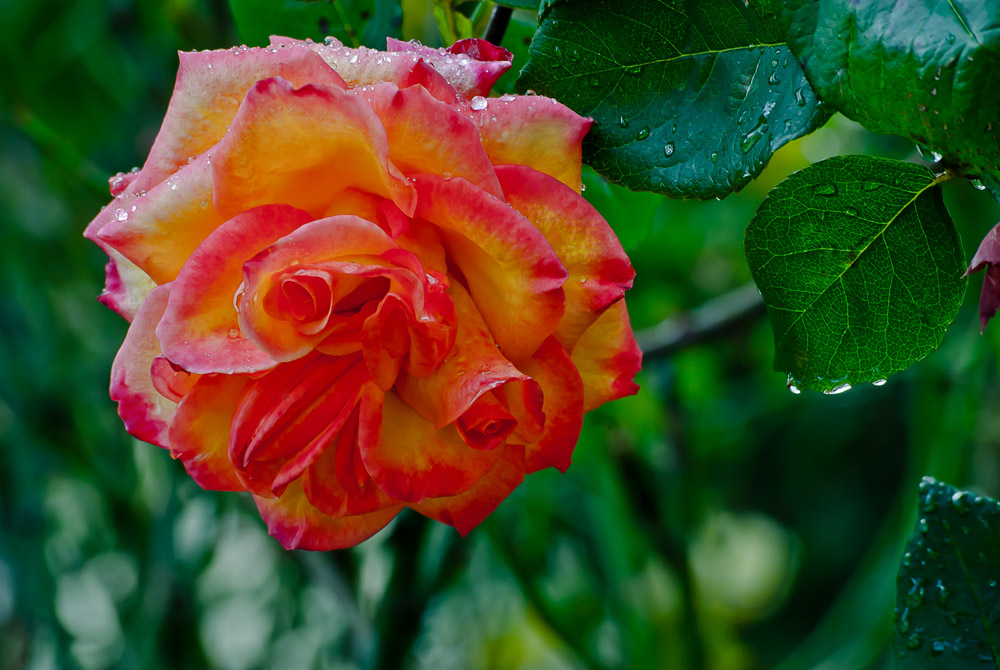 2 Quote A Flower Daily - Red and Yellow Rose