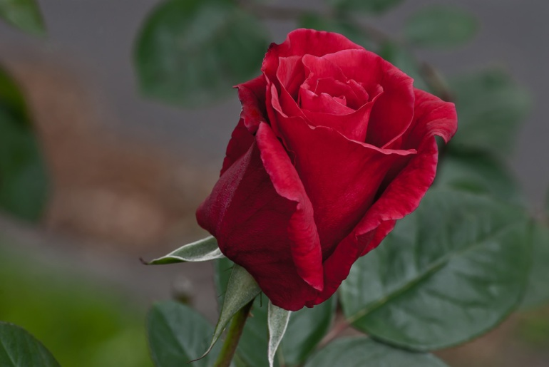 2 Quote A Flower Daily - Red Rose Bud