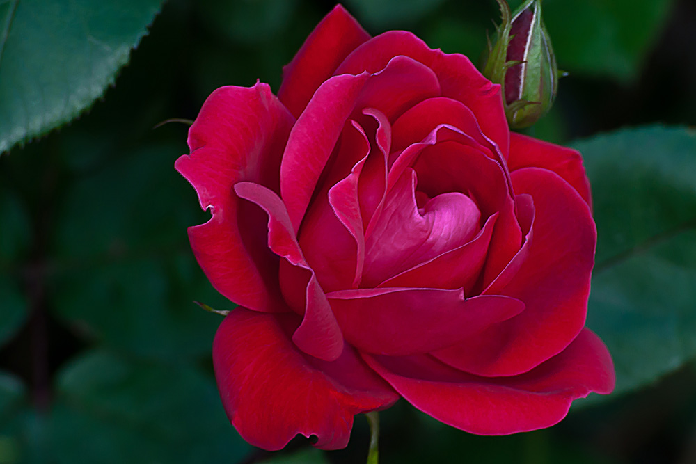 2 Quote A Flower Daily - Red Rose, Rosa,