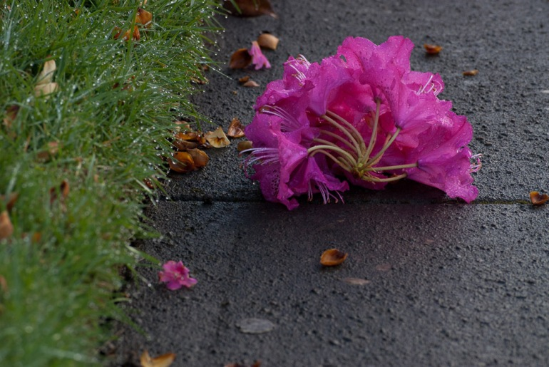 2 Quote A Flower Daily - Rhododendron on Sidewalk