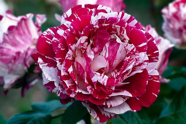 2 Quote A Flower Daily - Scentimental Rose Splender