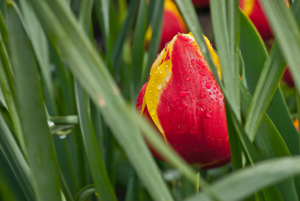 2 Quote A Flower Daily - Tulip Hidding