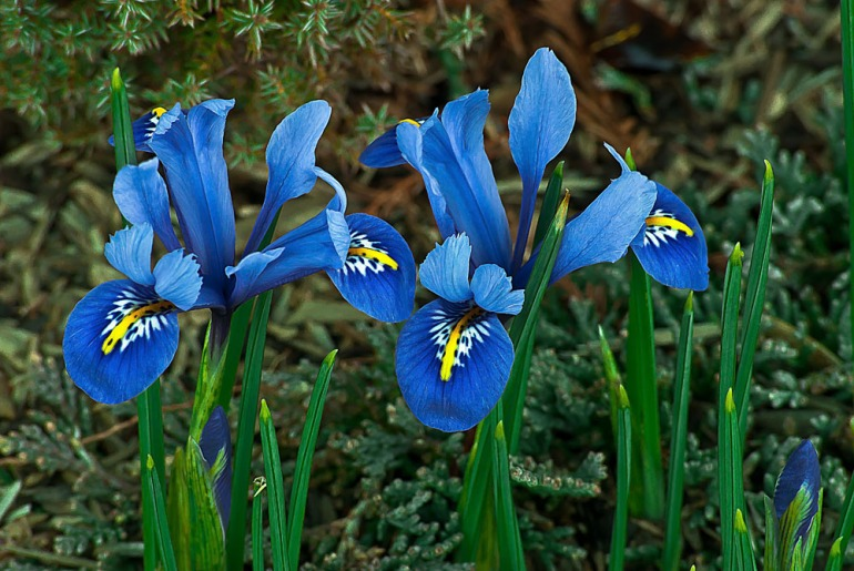 2 Quote A Flower Daily - Blue Iris