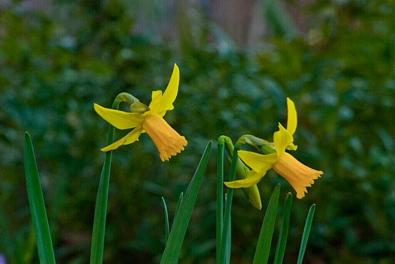 2 Quote A Flower - Two Jonquil
