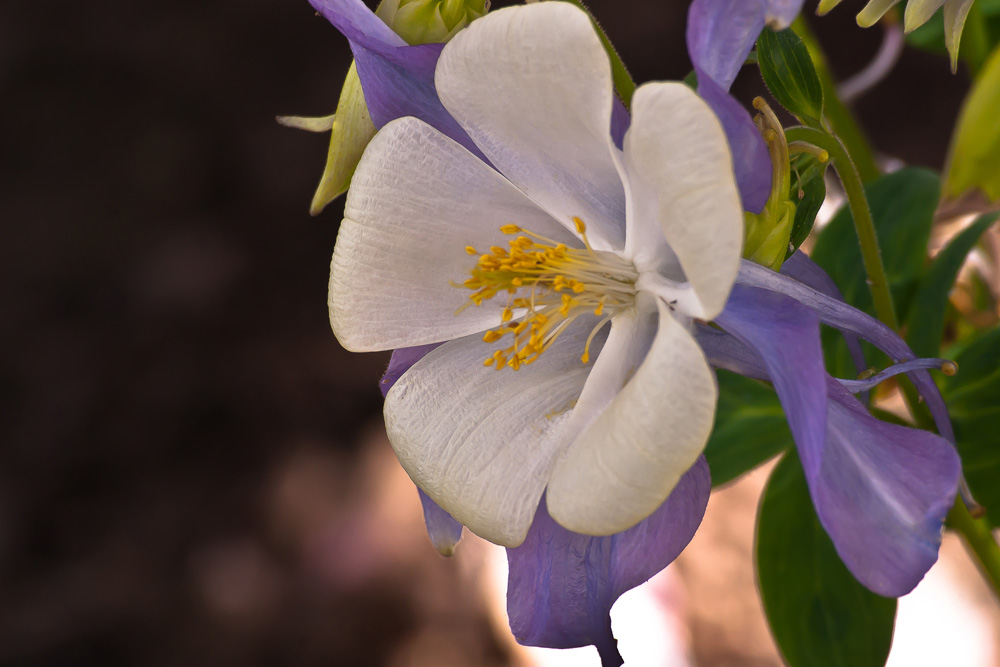 2 Quote A Flower Daily - White and Purple Columbine