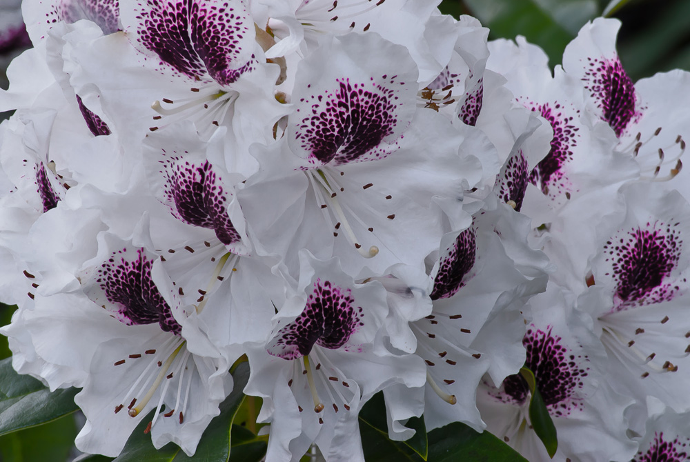 2 Quote A Flower Daily - White and Purple Rhododendron
