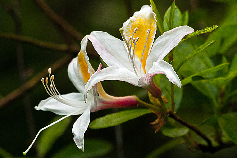 2 Quote A Flower Daily - White Azalea