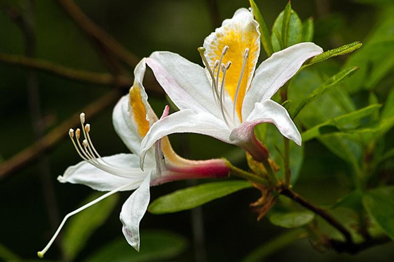 2 Quote A Flower Daily - White Azalea