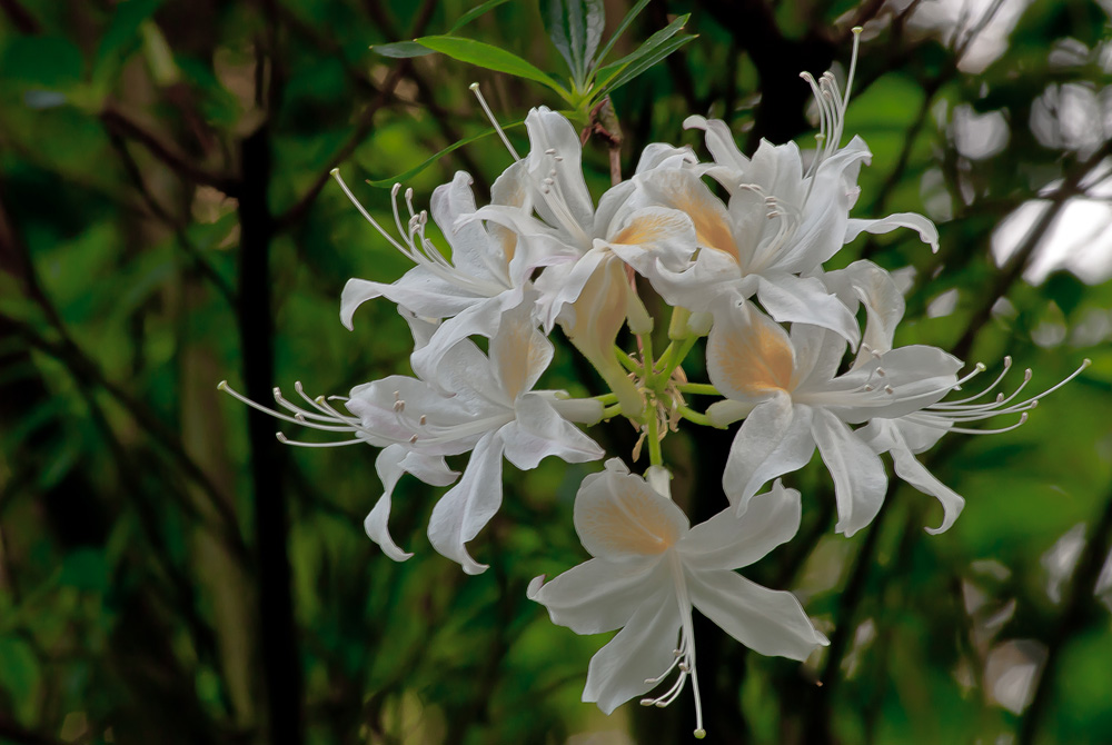2 Quote A Flower Daily - White Azaleas 02