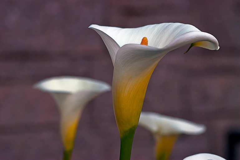 2 Quote A Flower Daily - White Calla Lily