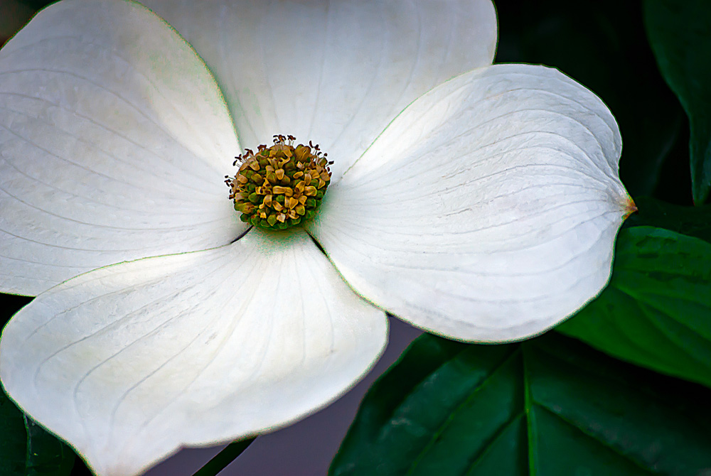 2 Quote A Flower Daily - White Dogwood