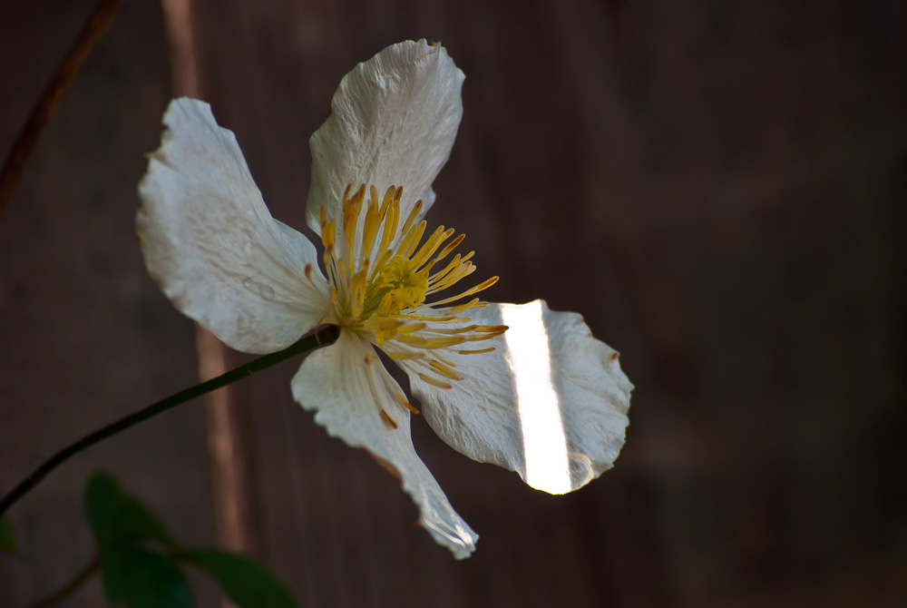 2 Quote A Flower Daily - White Flower Sun Stripe