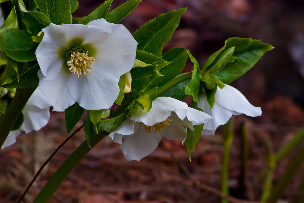 2 Quote A Flower Daily - White Hellebore 02