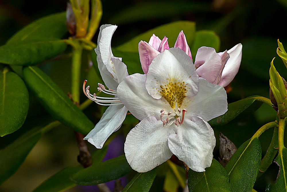 2 Quote A Flower Daily - White Rhododendron
