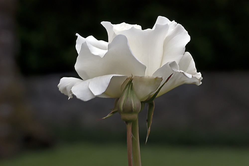 2 Quote A Flower Daily - White Simplicity Rose, Profile