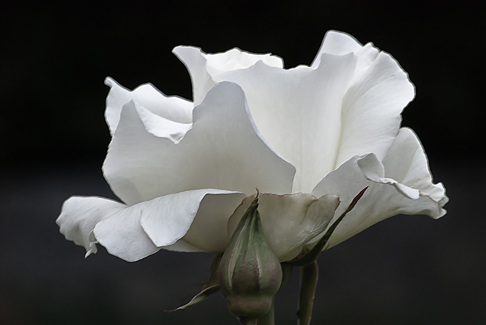 2 Quote A Flower Daily - White Simplicity Rose