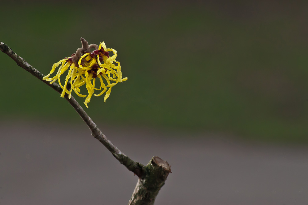 2 Quote A Flower Daily - Witch Hazel 01