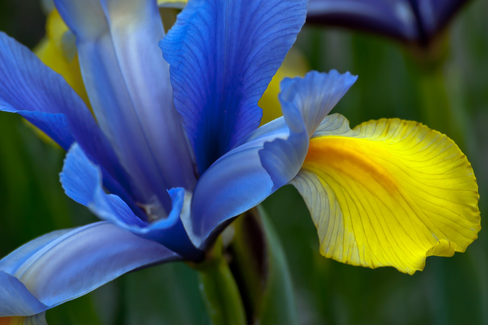 2 Quote A Flower Daily - Yellow and Blue Iris