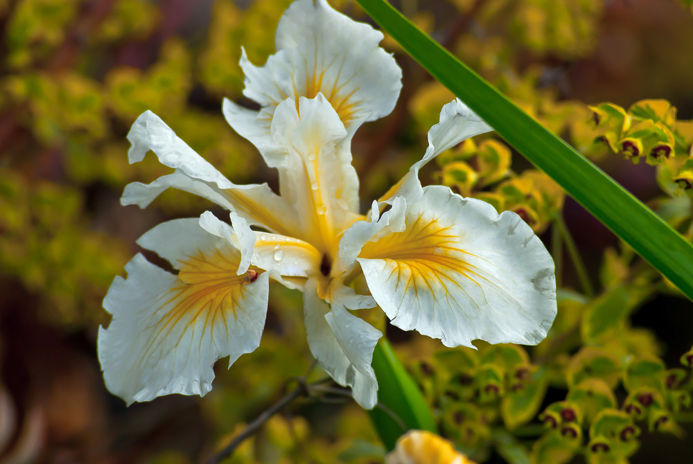 2 Quote A Flower Daily - Yellow and White Iris