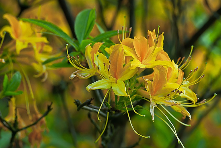 2 Quote A Flower Daily - Yellow Azaleas