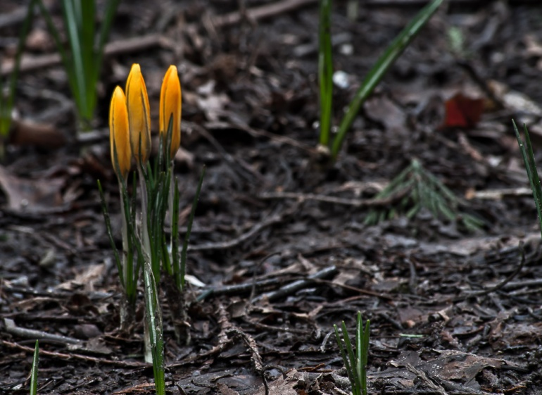 2 Quote A Flower - Yellow Crocus