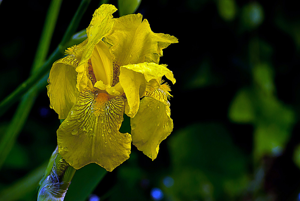 2 Quote A Flower Daily - Yellow Iris