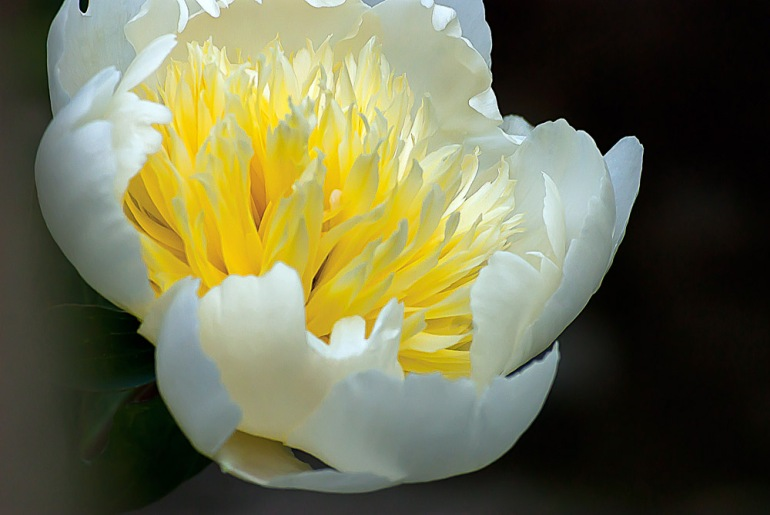 2 Quote A Flower Daily - Yellow Peony