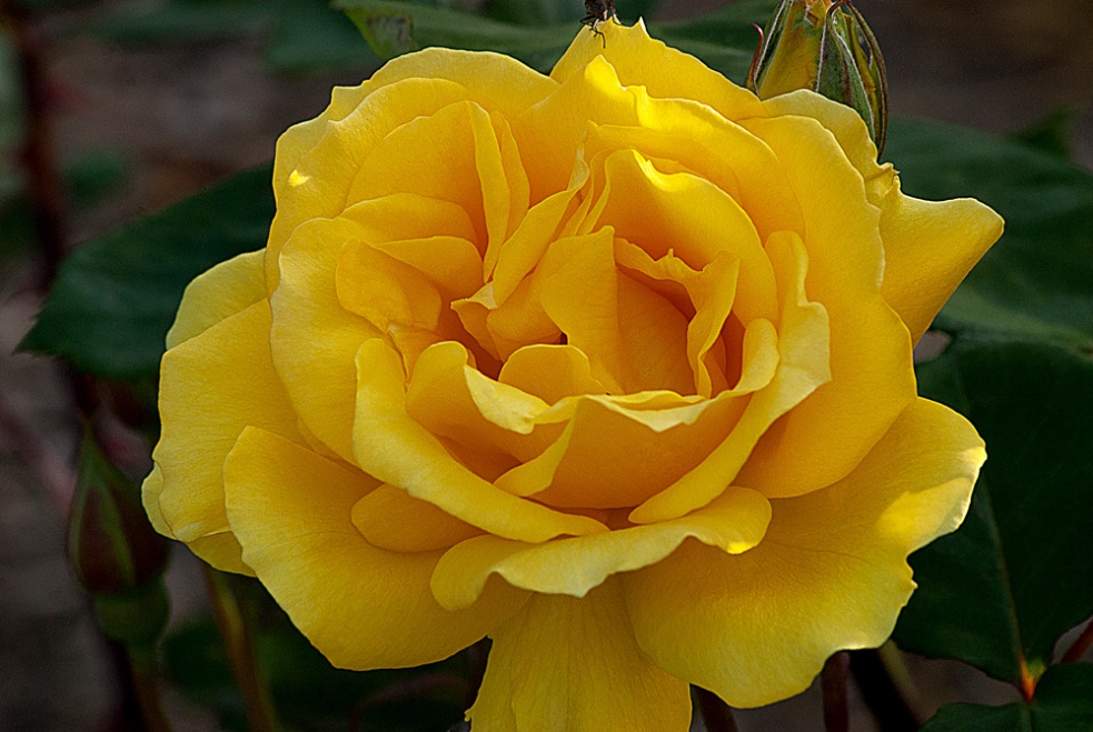 2 Quote A Flower Daily - Henry Fonda Yellow Rose
